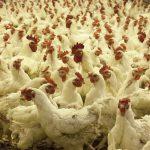 Massentierhaltung: Hühner