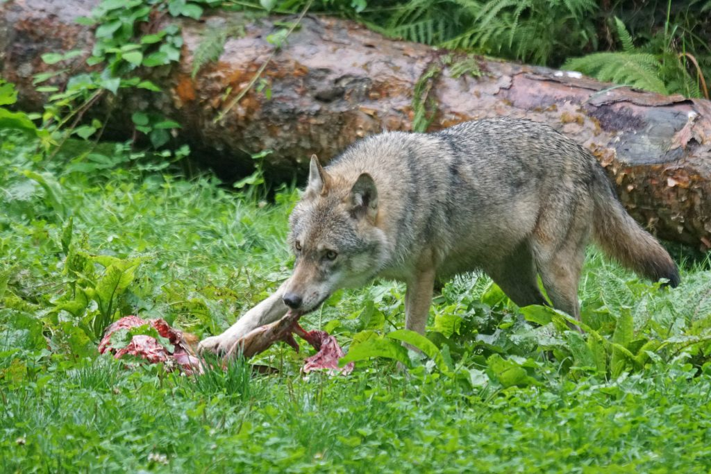 Ausrottung der Wildtiere zwecks Leidvermeidung?